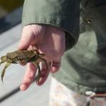 Lille krabbefisker