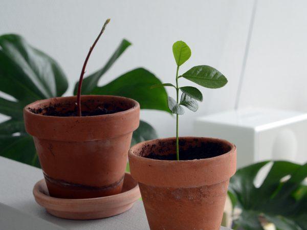 Plant-selv avokado- og citrontræ